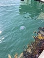 Jellyfish at Knightstown harbour, County Kelly, 2021-06-21, 01.jpg