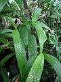 Joinvillea ascendens subsp. ascendens (4743784975).jpg