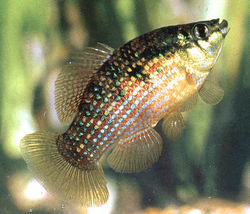 definition of flagfish