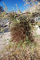 Joshua Tree National Park - Phoradendron californicum - 1.jpg