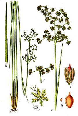 Stumpfblütige Binse (Juncus subnodulosus), Illustration
