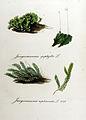 Jungermannia asplenioides — Flora Batava — Volume v11.jpg