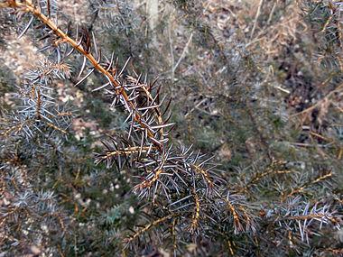 Juniperus communis var depressa SCA-02633.jpg