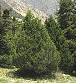 Juniperus foetidissima, Aladağlar Mountains 2.jpg