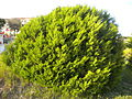 Juniperus phoenicea subsp. turbinata 2601.JPG