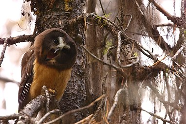 Juvenile Northern Saw-whet Owl (7178818051).jpg