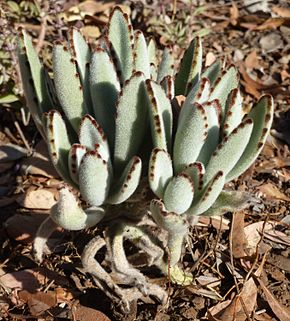 Description de l'image Kalanchoe tomentosa, in rotstuin, Waterberg.jpg.
