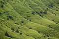 Kass Plateau region, Sahyadri DSC1757.jpg
