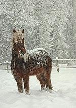 An Icelandic horse.
