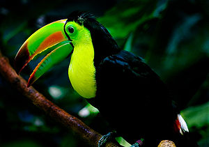 Woodland Park Zoo - Keel-billed toucan (Ramphastos sulfuratus), Tropical Rain Forest, Woodland Park Zoo