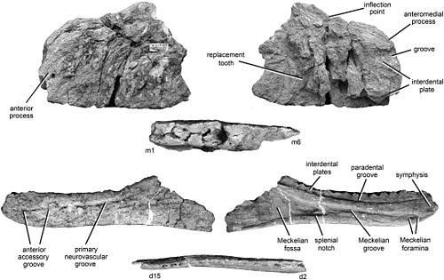 Kelmayisaurus