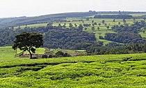 Kenya-Tealand-Near-Kericho-2012.JPG
