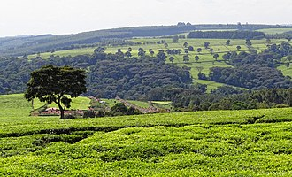 Kericho County - A tea plantation near Kericho in the Kenyan highlands.