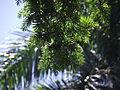 Keteleeria davidiana var. formosana 台湾油杉 (天問) 002.jpg