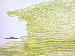 Kiaeria falcata (b, 140645-471626) 2360.JPG