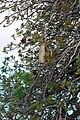 Kigelia africana fruit-001.jpg