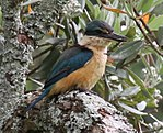 Kingfisher 3 (31910117962).jpg