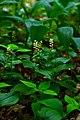 Kivertsi Volynska-Zozulyni cherevychky protected tract-Maianthemum bifolium.jpg