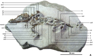 <i>Knoetschkesuchus</i> genus of reptiles