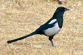 Korean magpie in Daejeon.jpg