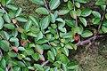 Korina 2016-10-15 Cotoneaster divaricatus 1.jpg