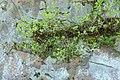 Korina 2017-04-09 Syringa vulgaris 1.jpg