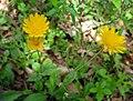 Krigia biflora Bluegrass.jpg