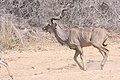 Kudu (Tragelaphus strepsiceros) (8603175675).jpg