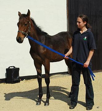 Colt (horse) - A weanling colt
