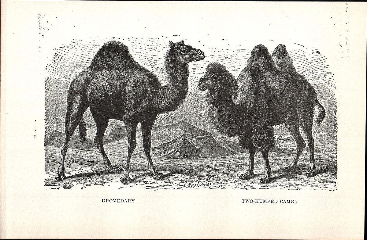Pata de camelo no mercado - 5 9