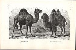 Dromedário (Camelus dromedarius) e Camelo-bactriano (Camelus bactrianus) respectivamente.