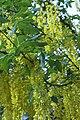 Laburnum × watereri, Haarlem 2.jpg