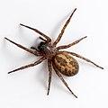 Lace Webbed Spider, Amaurobius Similis, 2009.jpg
