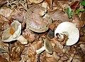 Lactarius blennius JPG01.jpg