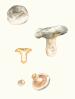 Lactarius quieticolor.png