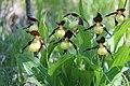 Lady's-Slipper Orchid - Cypripedium calceolus (14227831784).jpg