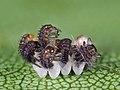 Ladybirds hatching (51028185273).jpg