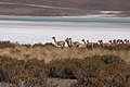 Laguna Hedionda y vicuñas - Potosí - Bolivia.jpg