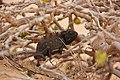 Laika ac Namaqua Chameleon (8446604184).jpg