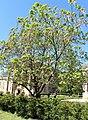 Lamiales - Catalpa bignonioides - 1.jpg