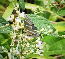 Laothus barajo, Barajo Hairstreak, Stunning turquoise blue upperwing (1) (40692169534).jpg