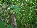 Lapageria rosea - fruto.JPG
