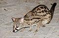 Large-spotted Genet (Genetta tigrina) (17170502179).jpg