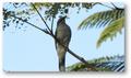 Large Cuckoo Shrike.png