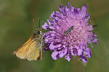 Large skipper (Ochlodes sylvanus) with flower beetle (Odedemera sp.) in Sweden