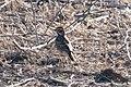 Lark Sparrow San Pedro House Sierra Vista AZ 2019-04-11 07-41-36 (47018874794).jpg