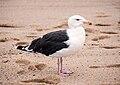 Larus marinus - Cape Cod - 2014-10-04.jpg