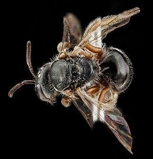 Lasioglossum - Lasioglossum birkmani