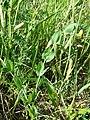 Lathyrus aphaca sl80.jpg
