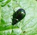 Leaf Beetle. Gastrophysa viridula^ Chrysomelidae. - Flickr - gailhampshire.jpg